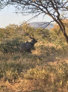 http://cgcsportworks.ca/wp-content/uploads/2018/06/old-kudu2-223x300.jpg