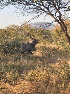 http://cgcsportworks.ca/wp-content/uploads/2018/06/old-kudu2-223x300.jpg